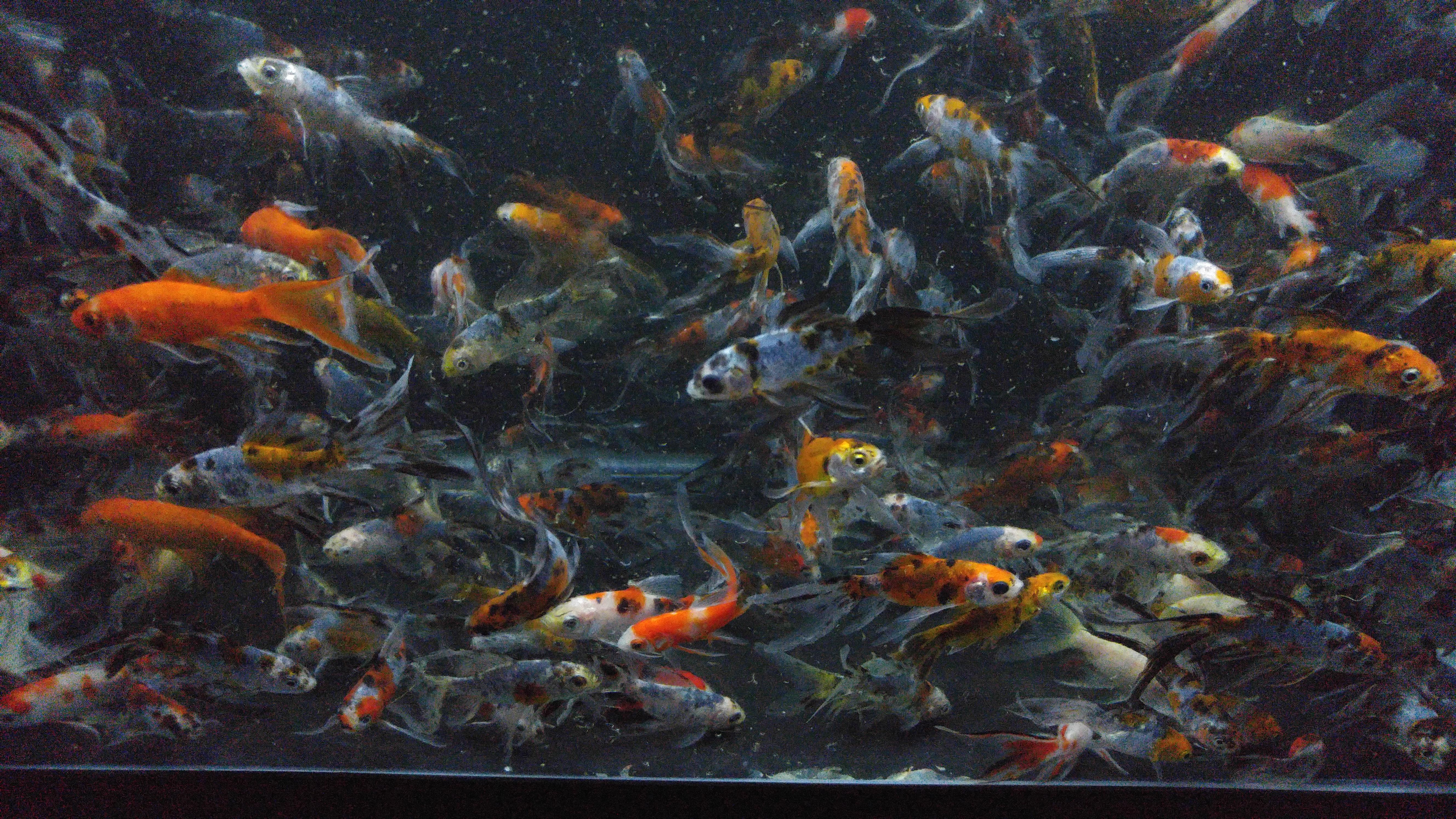 Shubunkin Goldfish Medium