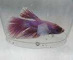 Dumbo Ear Half Moon Betta Male