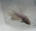 Platinum Crowntail Betta