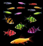 GloFish (r) 20 Gallon Active- 5 Barbs, 10 Danio, 1 Shark