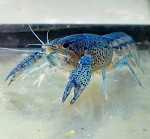 Lobster- Sapphire Blue