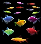 GloFish (r) 20 Gallon Community- 5 Tetra, 10 Danio, 1 Shark