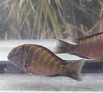 Tropheus Chimba Red Medium