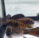 Tropheus Chipimbi Red Small