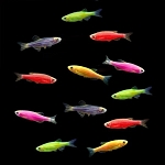 GloFish (r) Danio- Pick your color