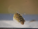 Figure 8 Pufferfish
