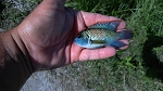 Electric Blue Acara Small