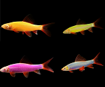 GloFish (r) Shark- Pick your color